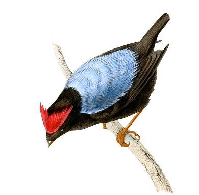 Blue-backed Manakin, Chiroxiphia pareola from 'A selection of the birds of Brazil and Mexico : the drawings' London :H.G. Bohn,1841.