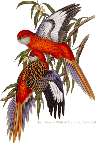 Eastern Rosella engraving
