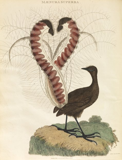 lyrebird engraving